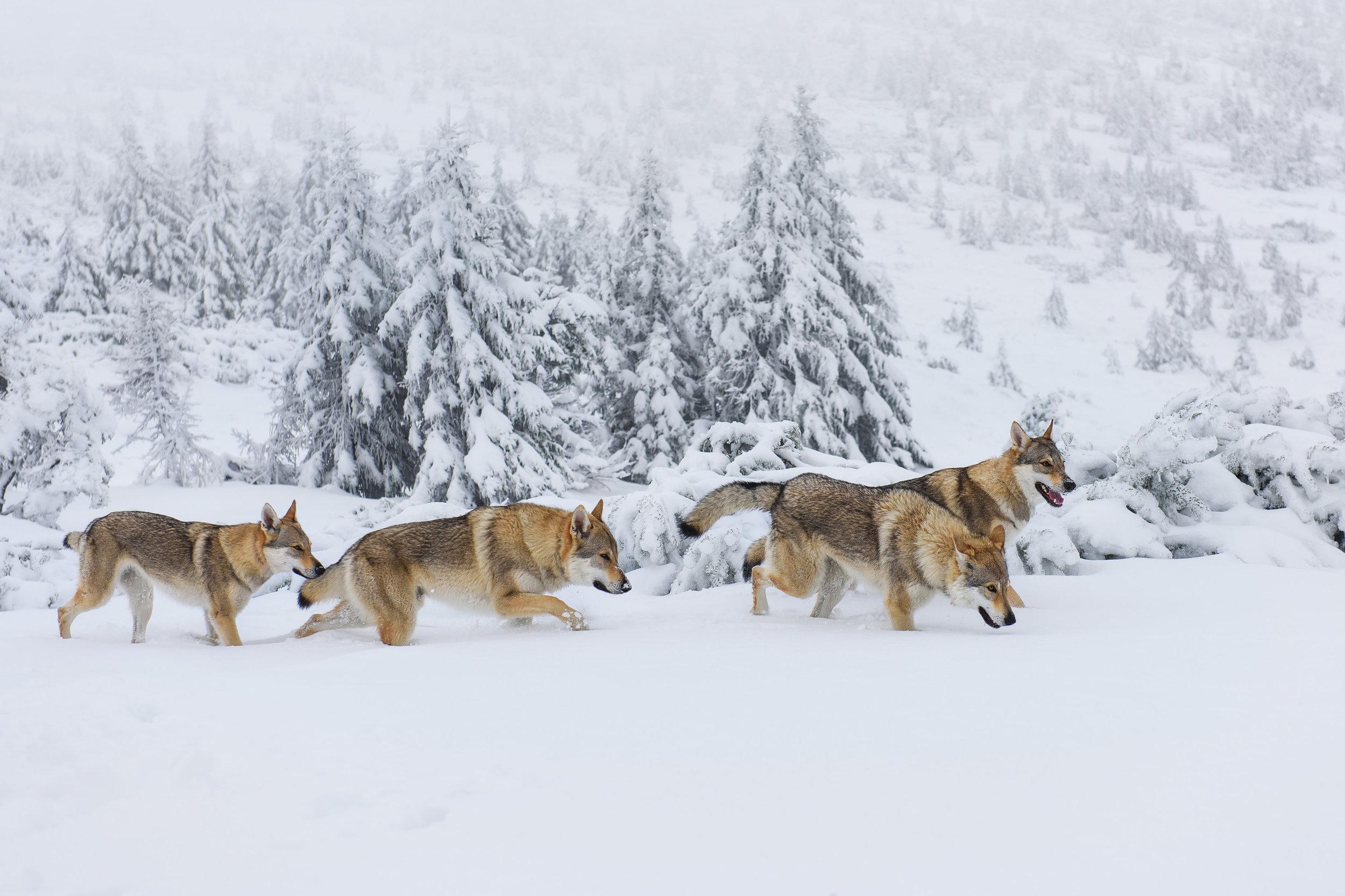 wolves23.jpg
