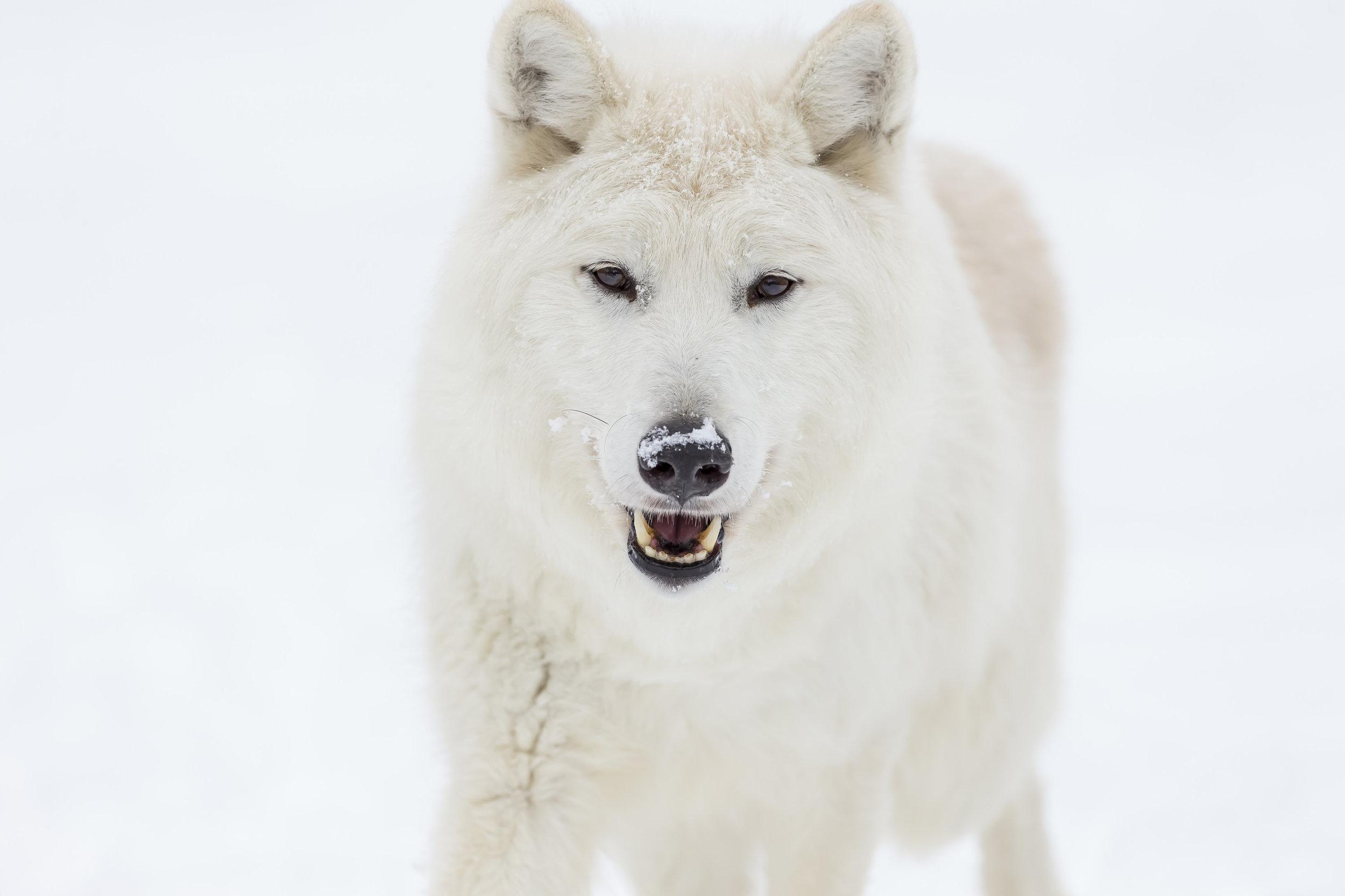 wolves25.jpg