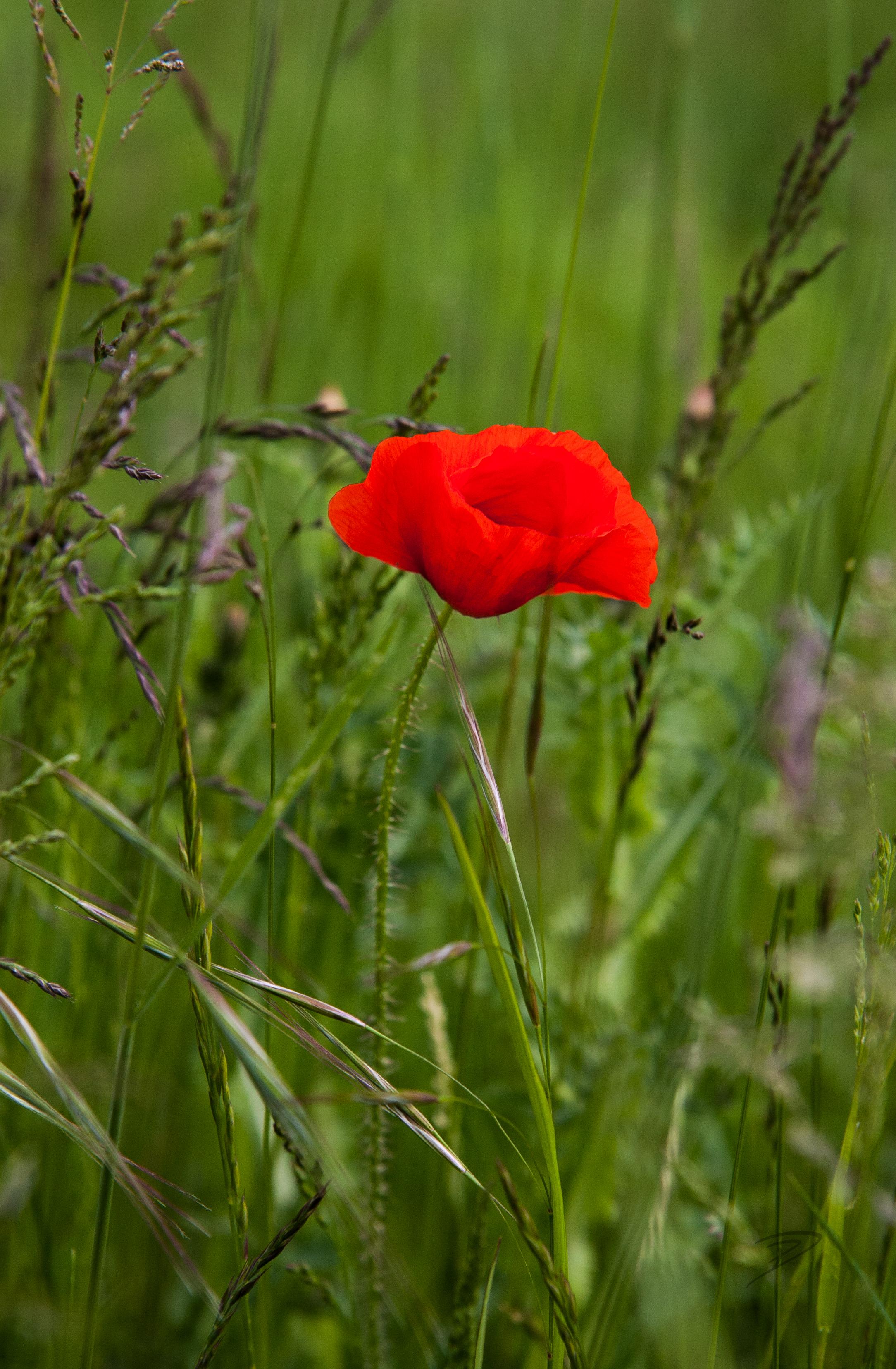 Common Poppy 1.jpg