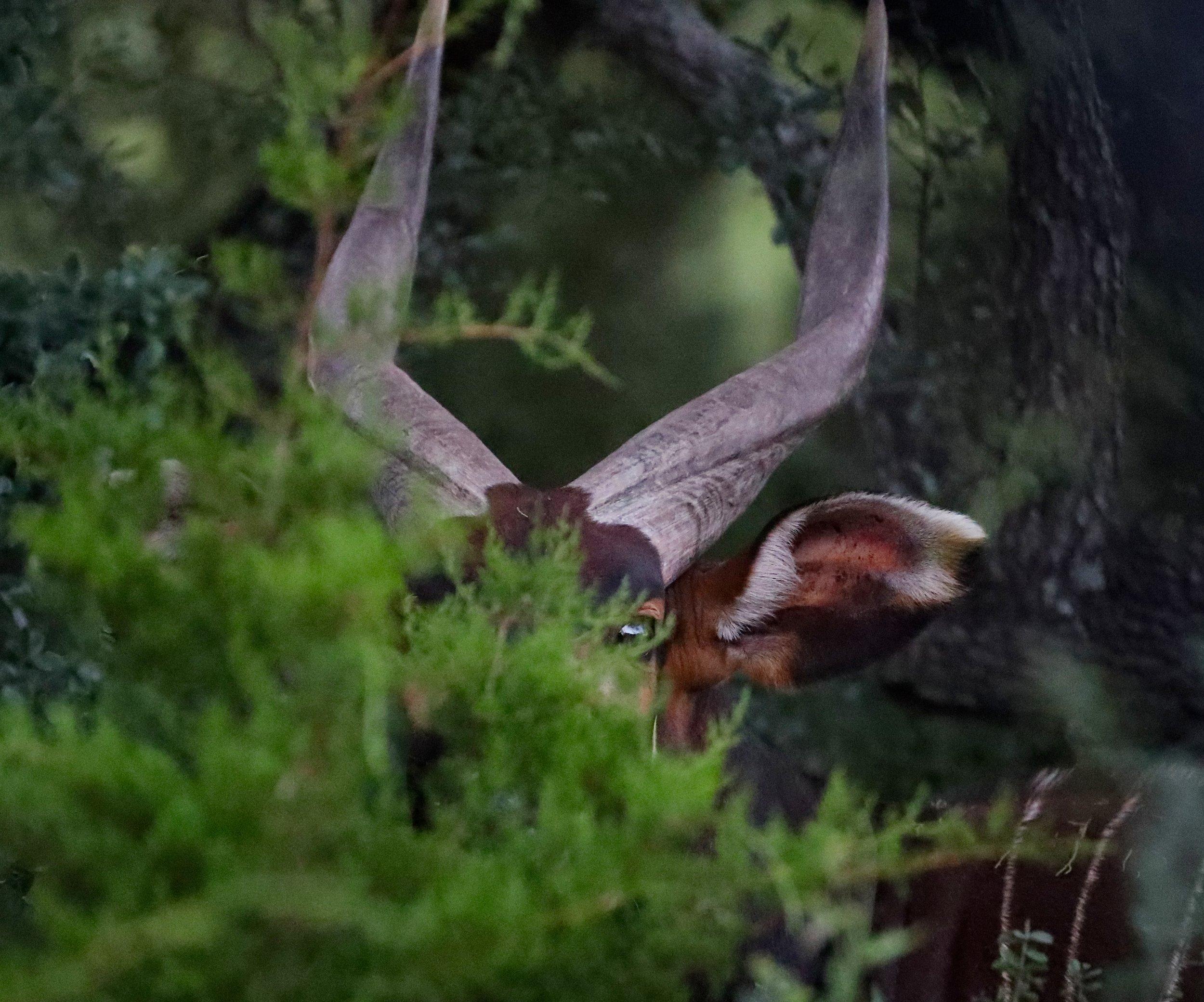 Male Mountain Bongo Hiding In Brush