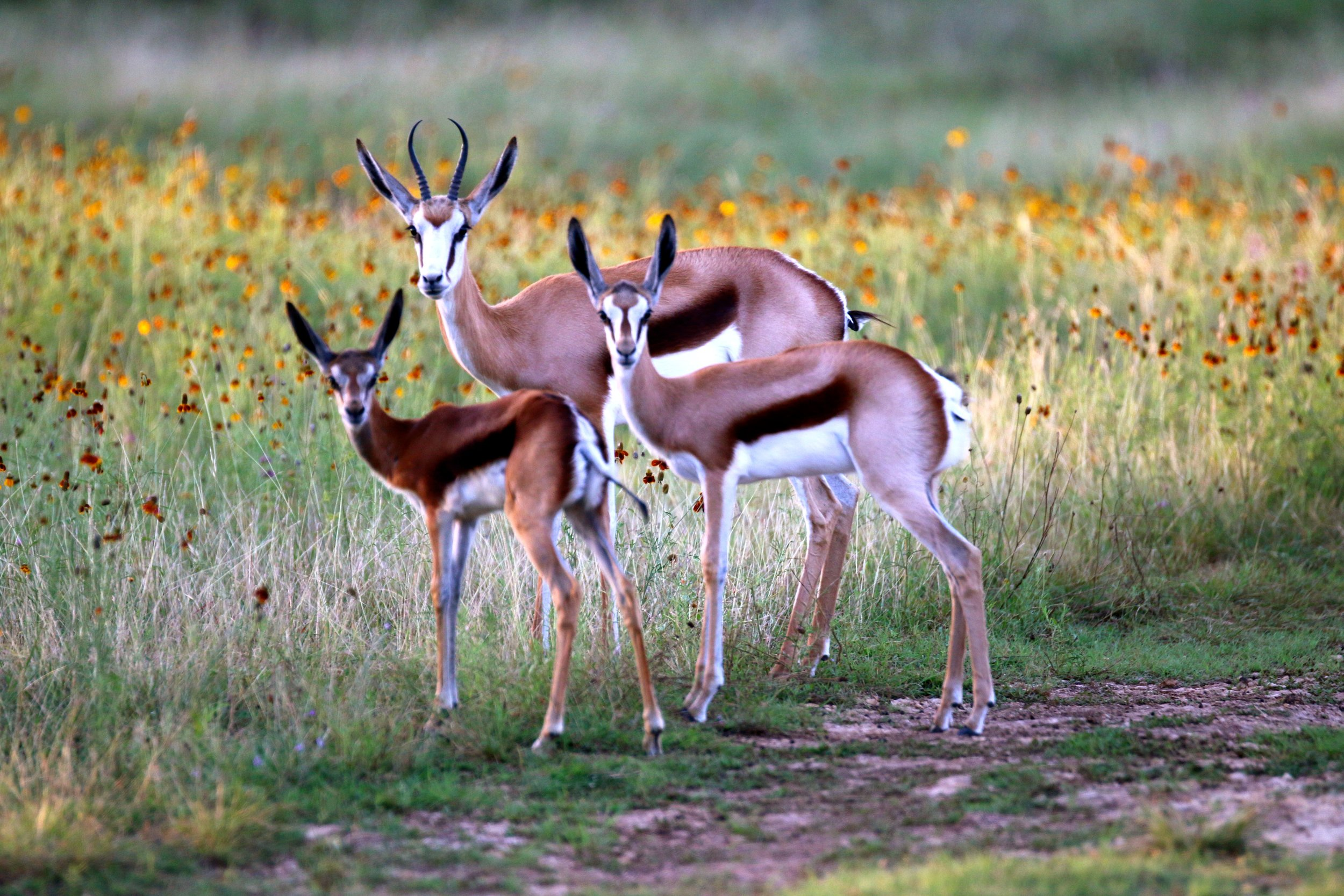 Family Of Springbok