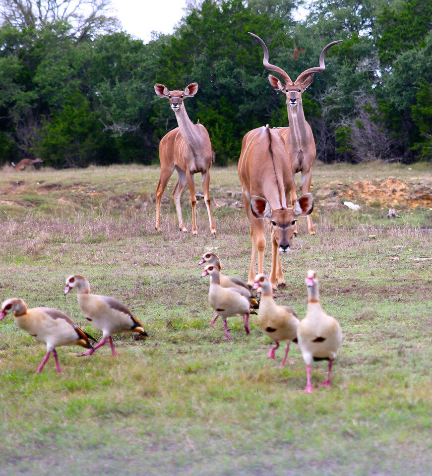 2 Female Greater Kudu's & Male Greater Kudu being curious about Egyptian Geese