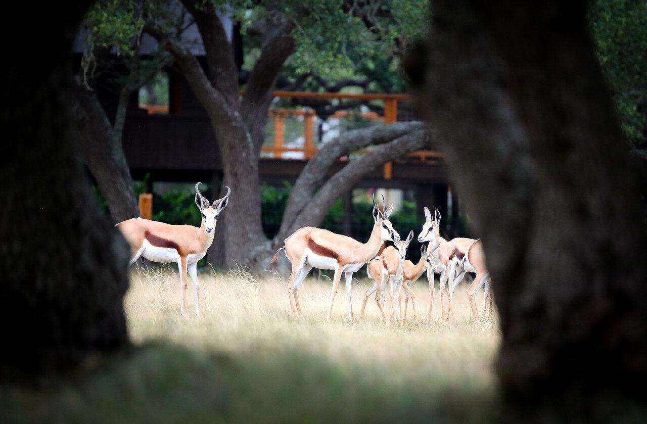 Family of Springboks