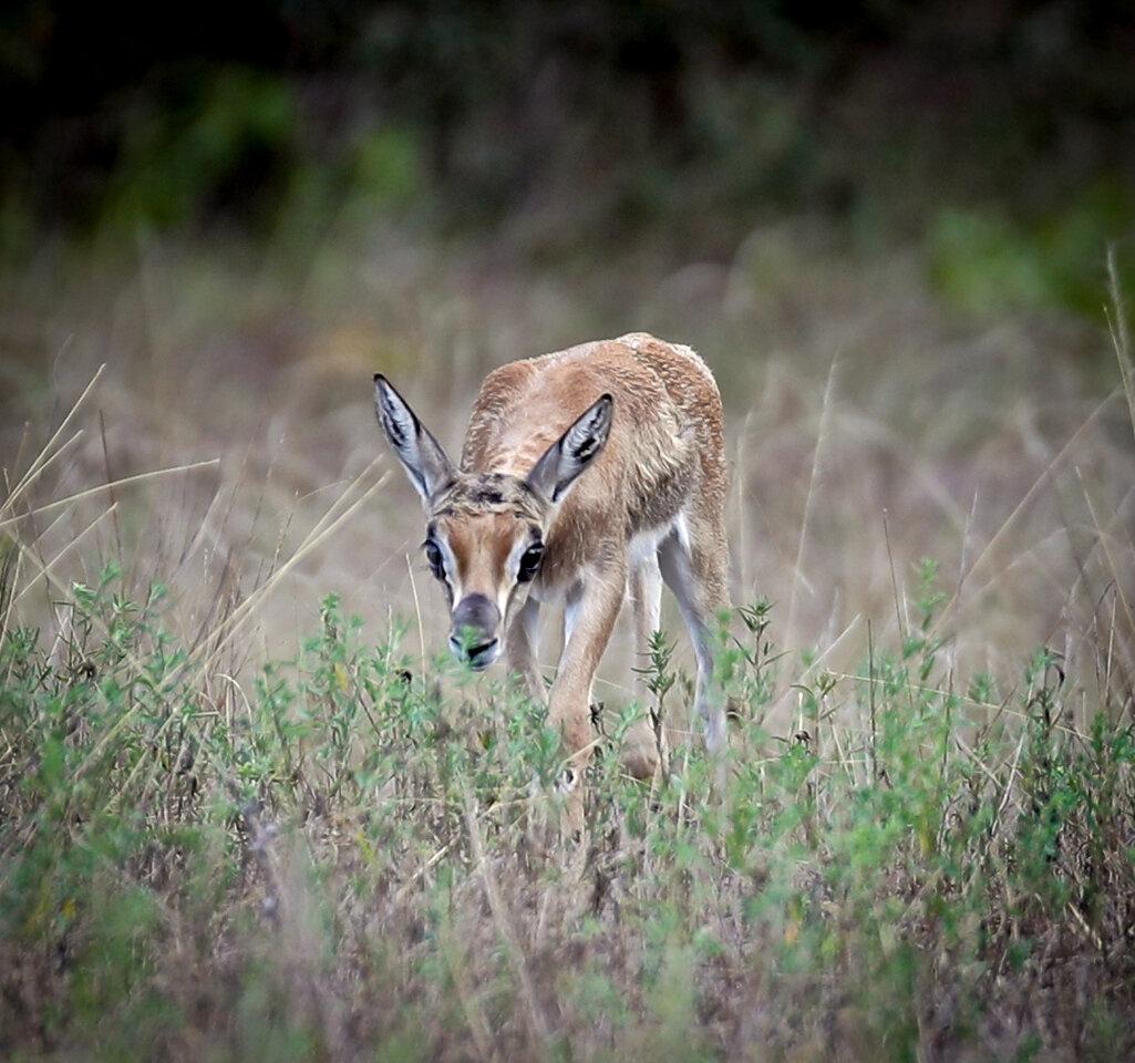 Newborn Springbok Up Close