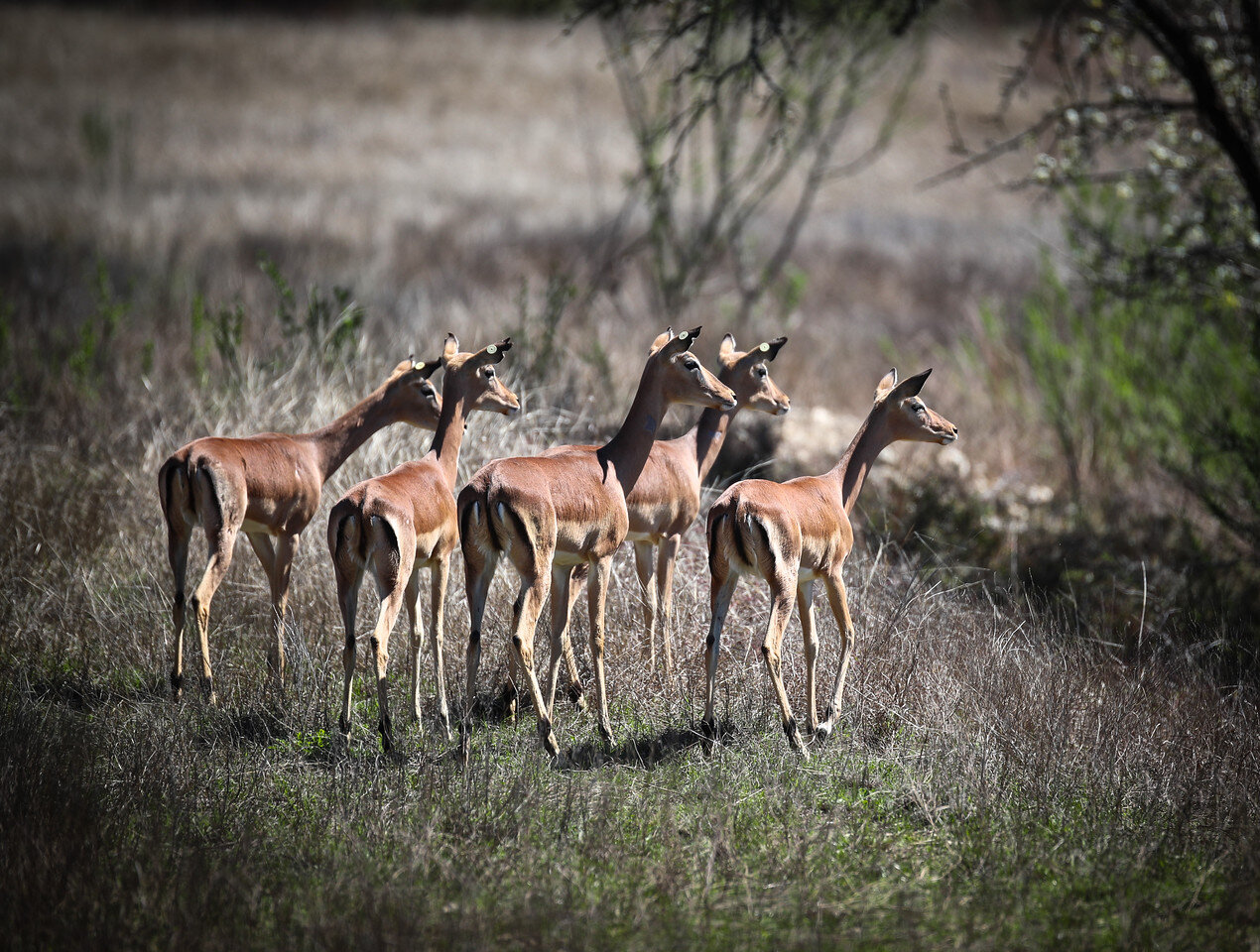 Female East African Impalas
