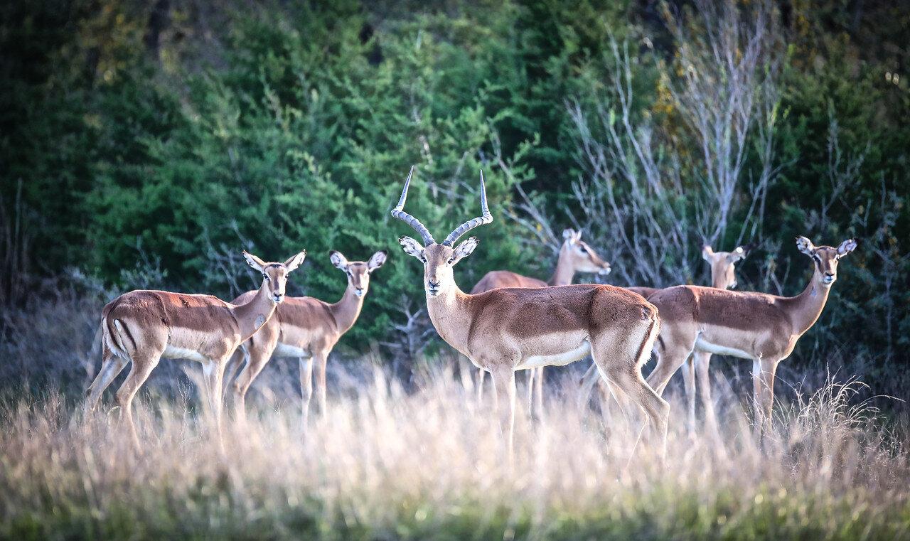 1 Male Impala with 5 Female Impala