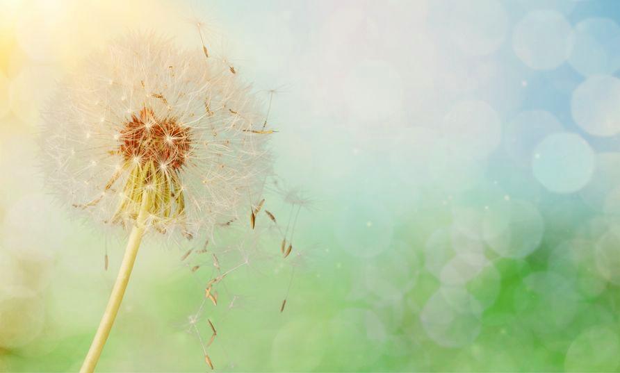 Dandelion+clock.jpg