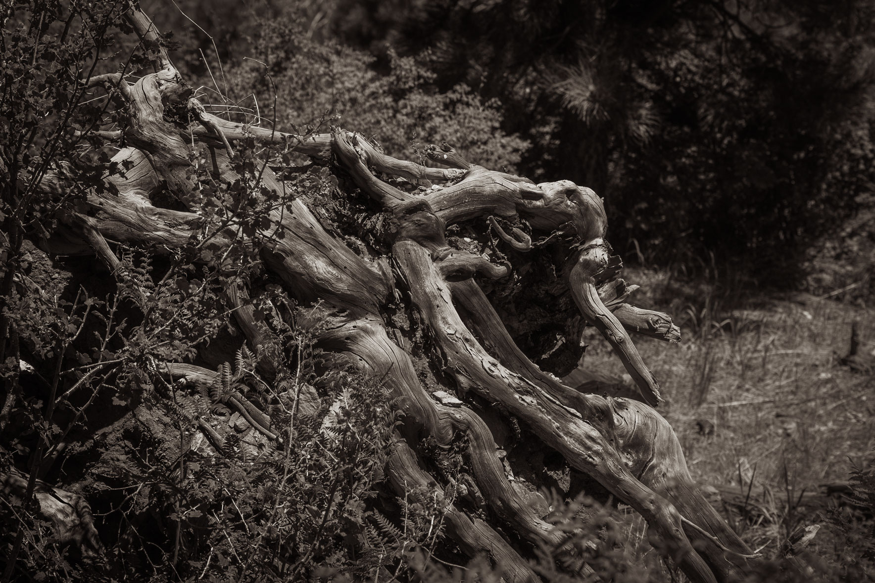 bw-gnarly-roots-sm.jpg