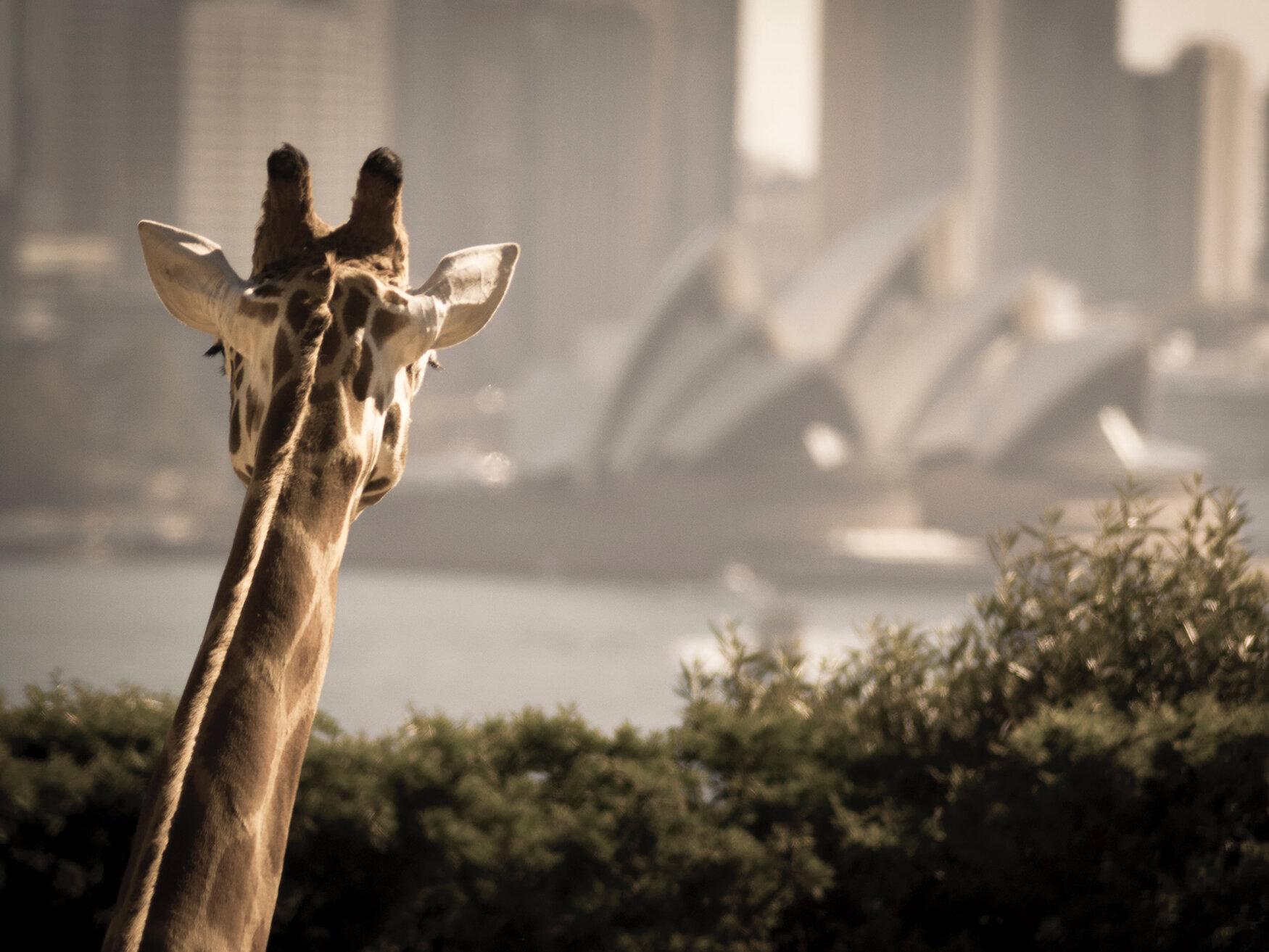 Giraffe 4 3.jpg