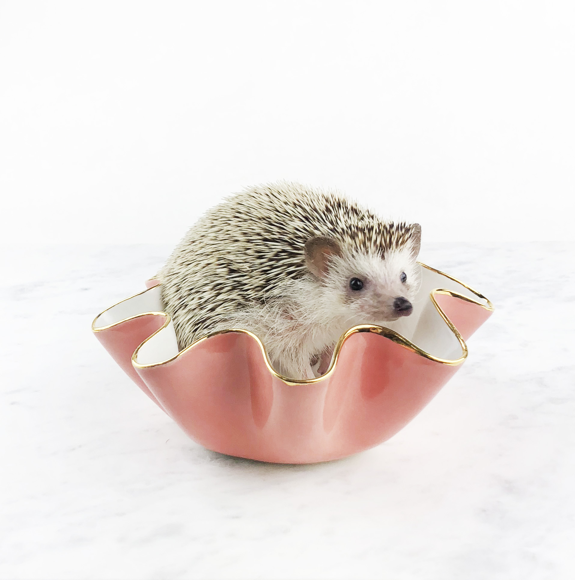 Penny the Hedgehog in a B size bowl.jpg