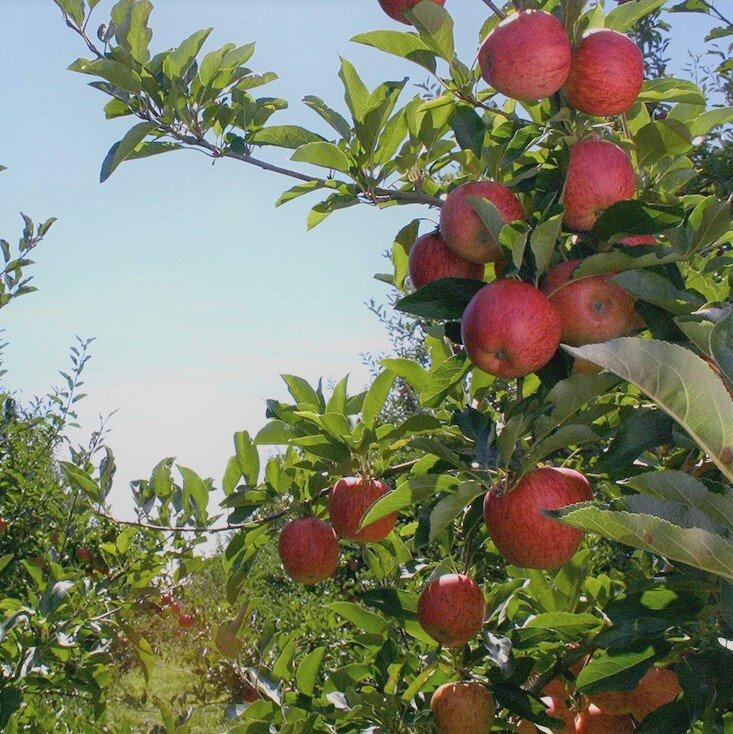 bostock apples cropped.jpg