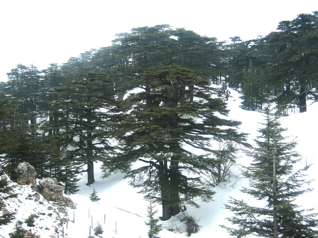 Forest_of_The_cedars_of_God.jpg