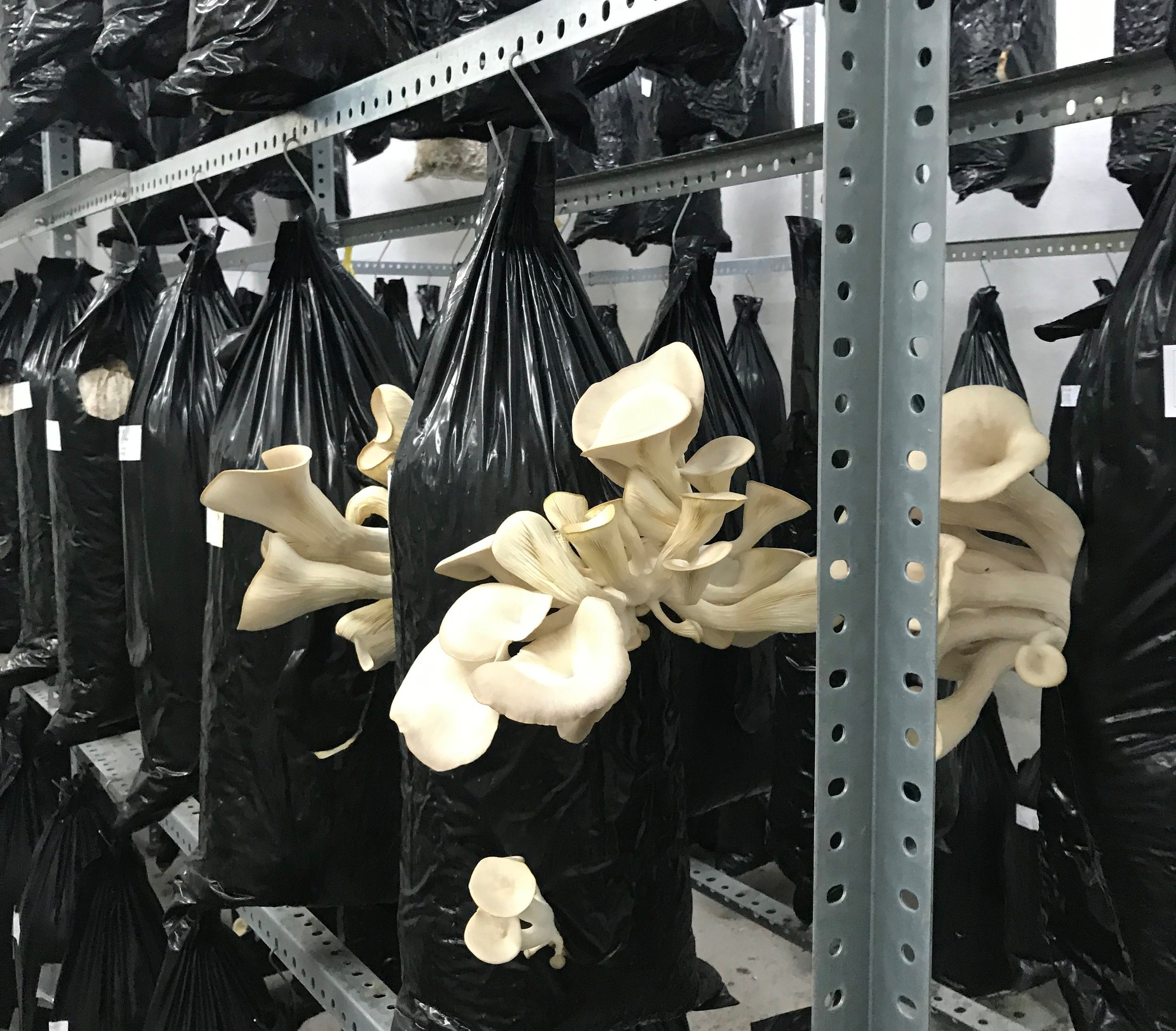 A row of oyster mushrooms in the indoor growing facility at Hut&Stiel