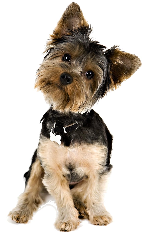 yorkie puppy tilting head