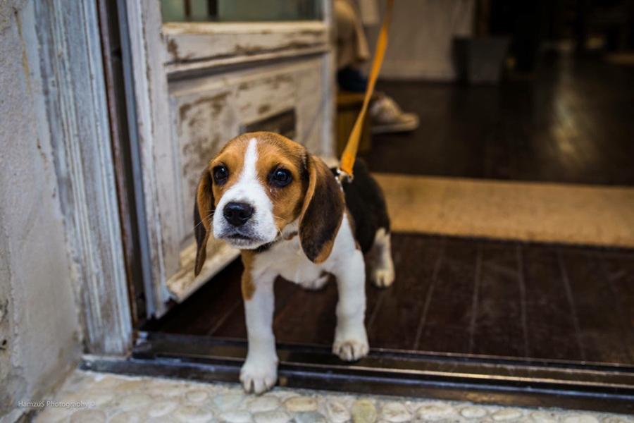 beagle puppy walking on a leash