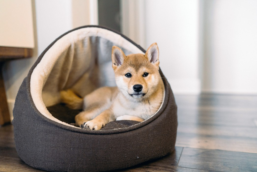 shiba inu puppy laying in a bed