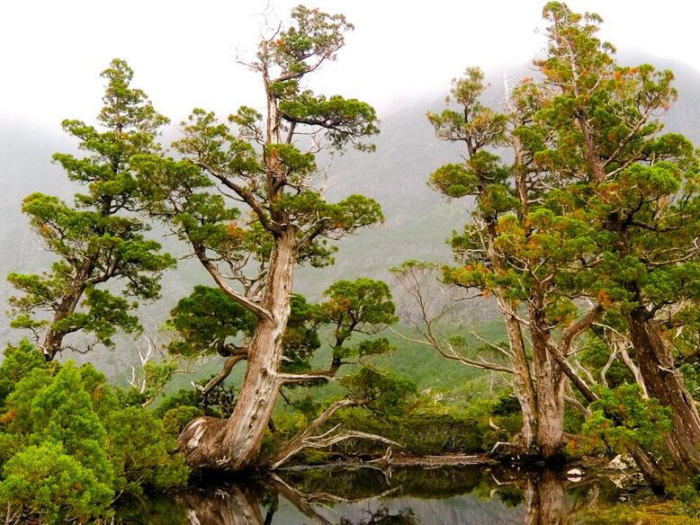 083-North-East-Tas-ancient-pines-near-cradle-mtn_3383134.jpg