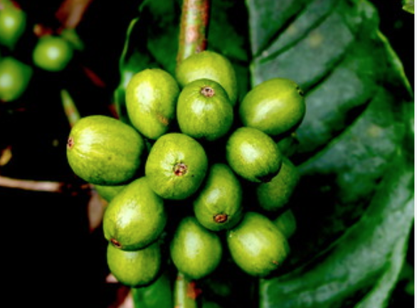 Copy of Green coffee beans
