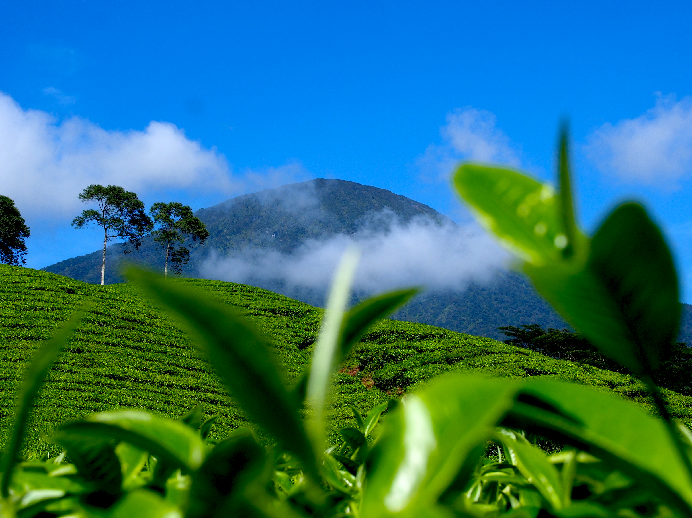 Copy of Tea fields north of the equator
