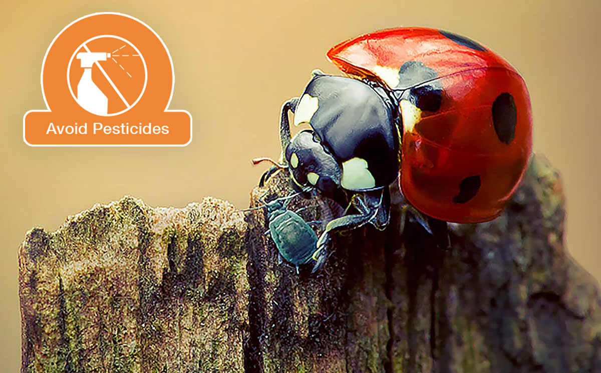 Ladybug hunting an insect pest.  Photo by    Irene Mei    via Creative Commons.