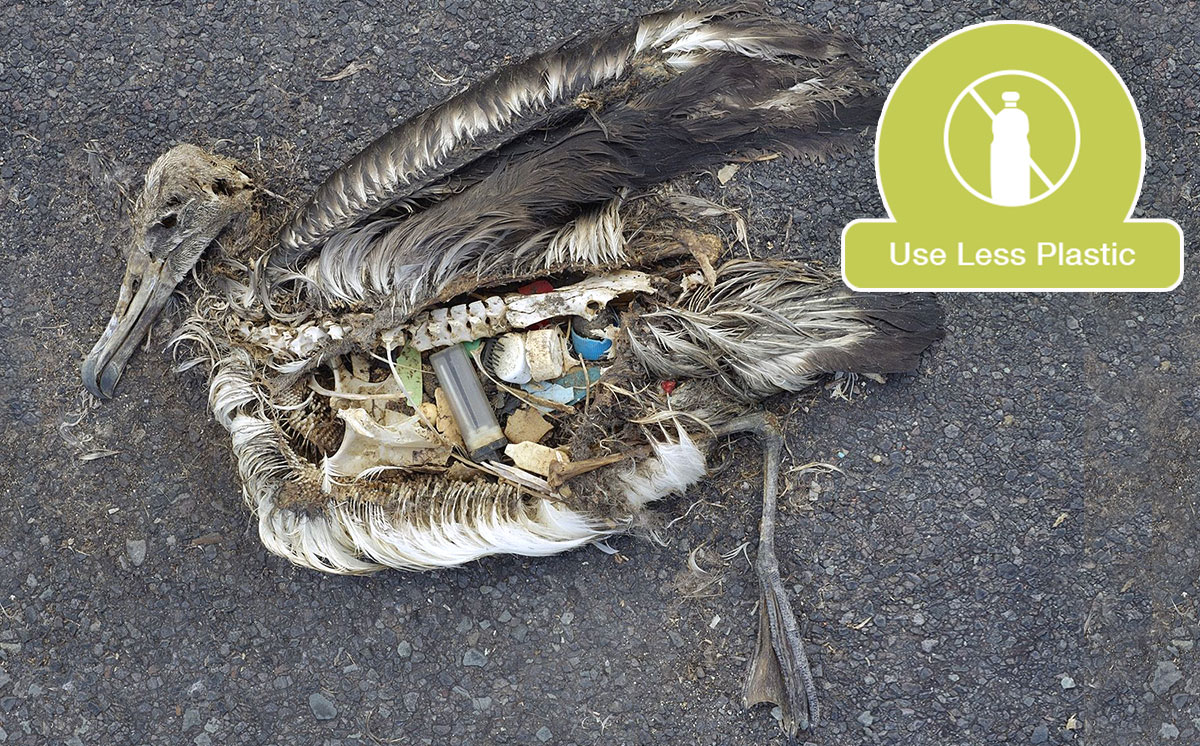 A Laysan Albatross with a stomach full of plastic.  Photo by    Chris Jordan via U.S. Fish and Wildlife Service Headquarters   .