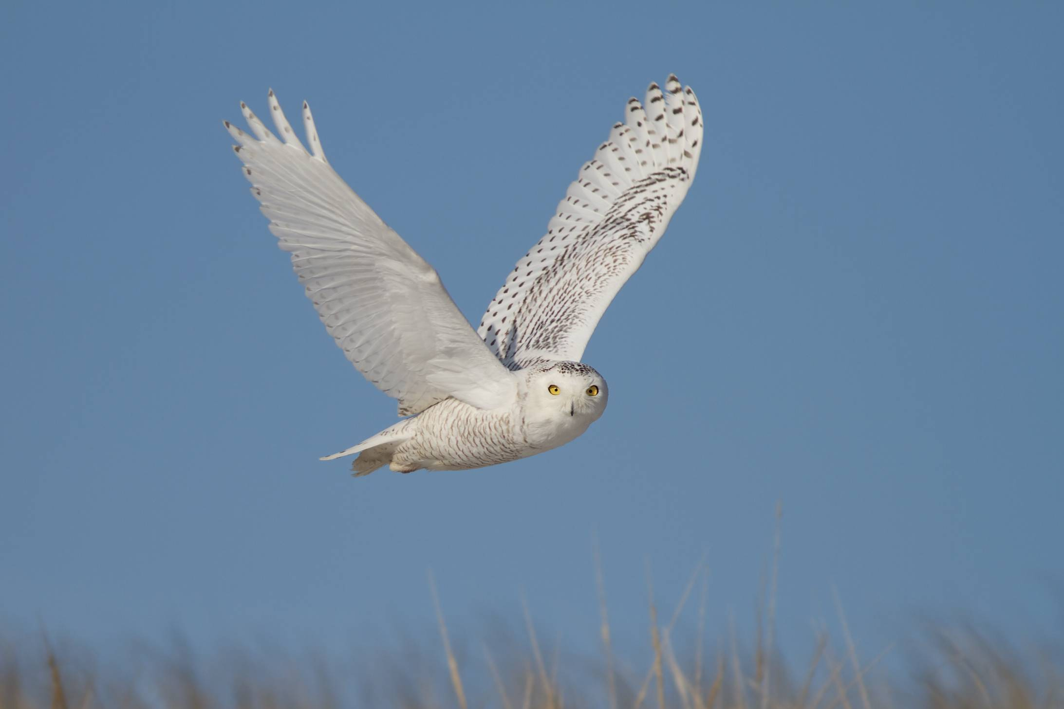 Snowy Owl by Doug Hitchcox, Macaulay Library at Cornell Lab of Ornithology 41544741.jpg