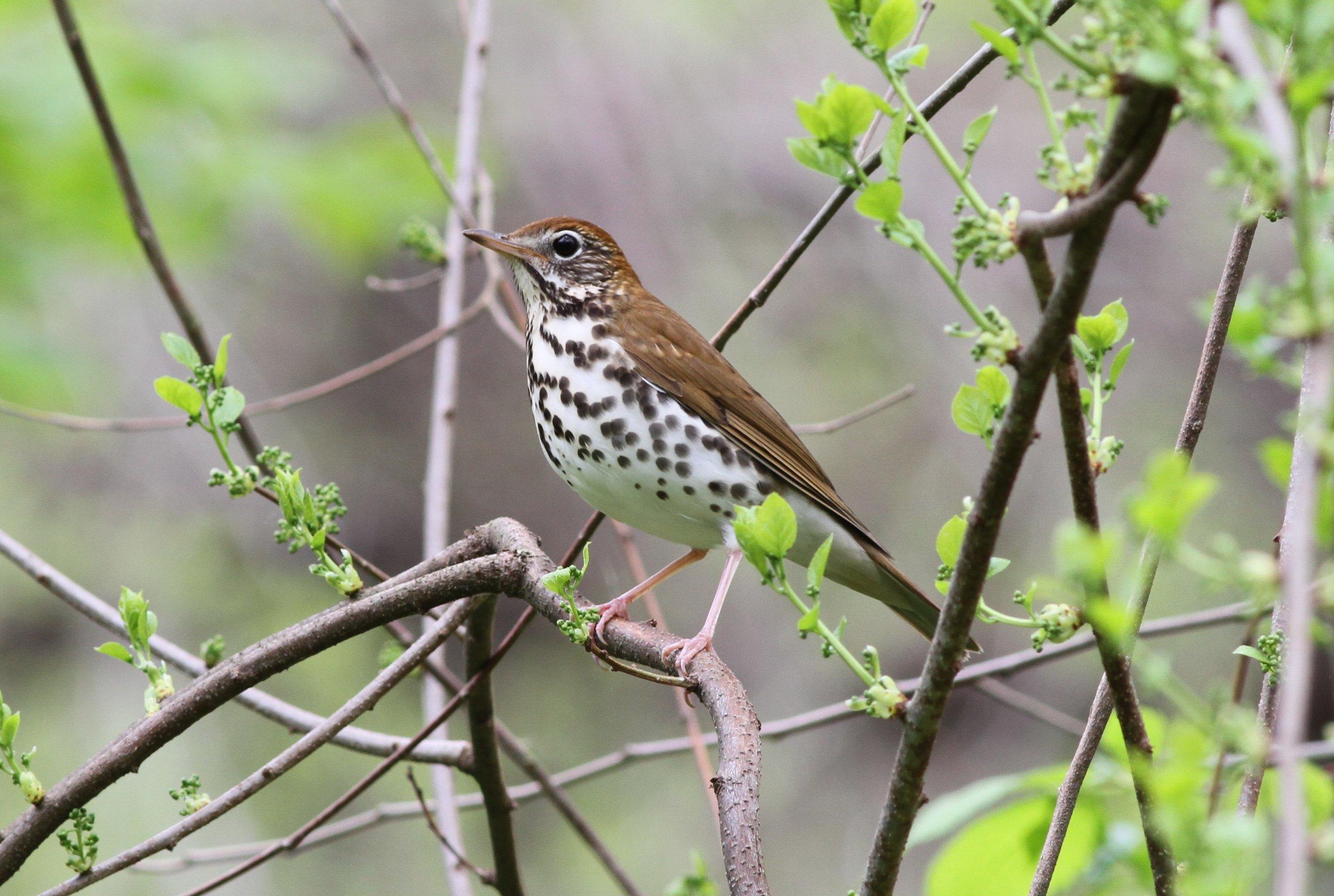 Wood Thrush_Michael Parr, American Bird Conservancy.JPG
