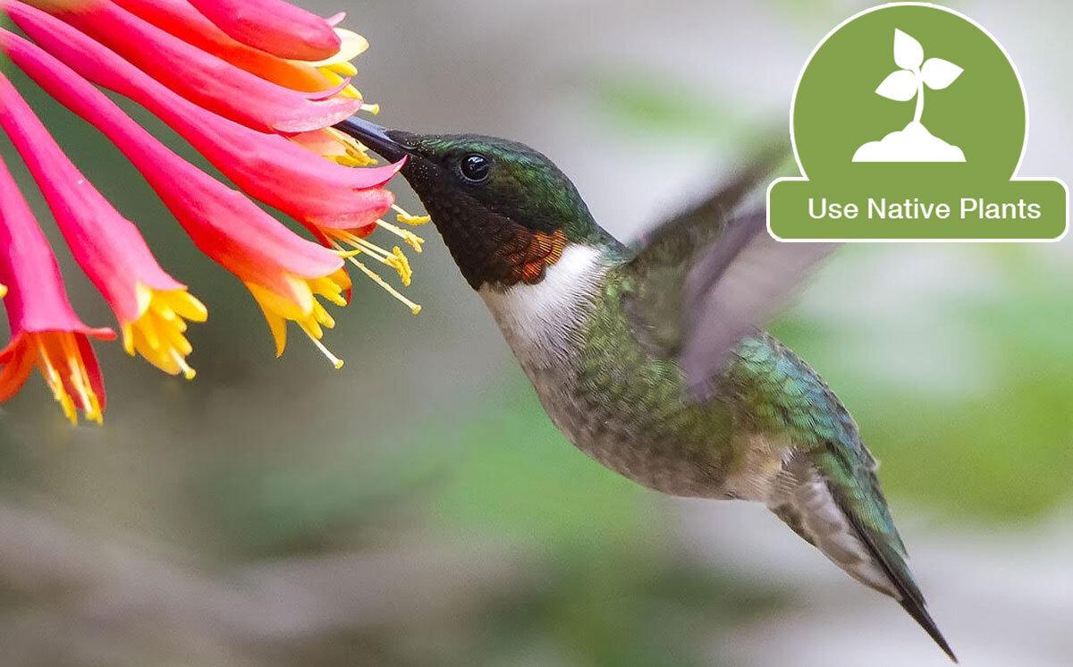 Ruby-throated Hummingbird feeds from native honeysuckle.  Photo by     David M. Shipper/Audubon Photography Awards    .
