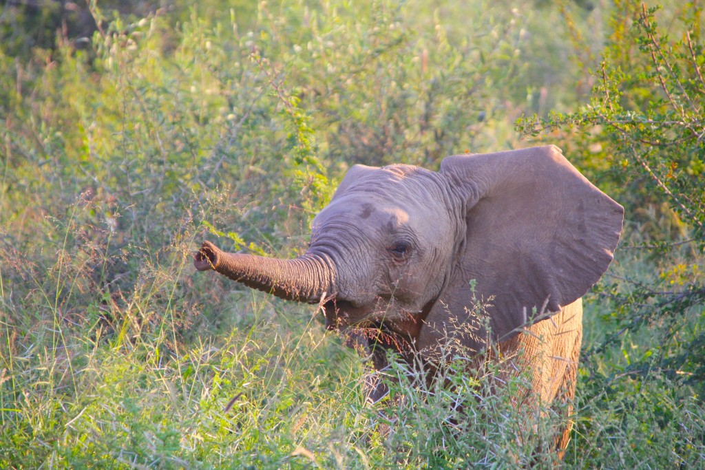 olifant Madikwe