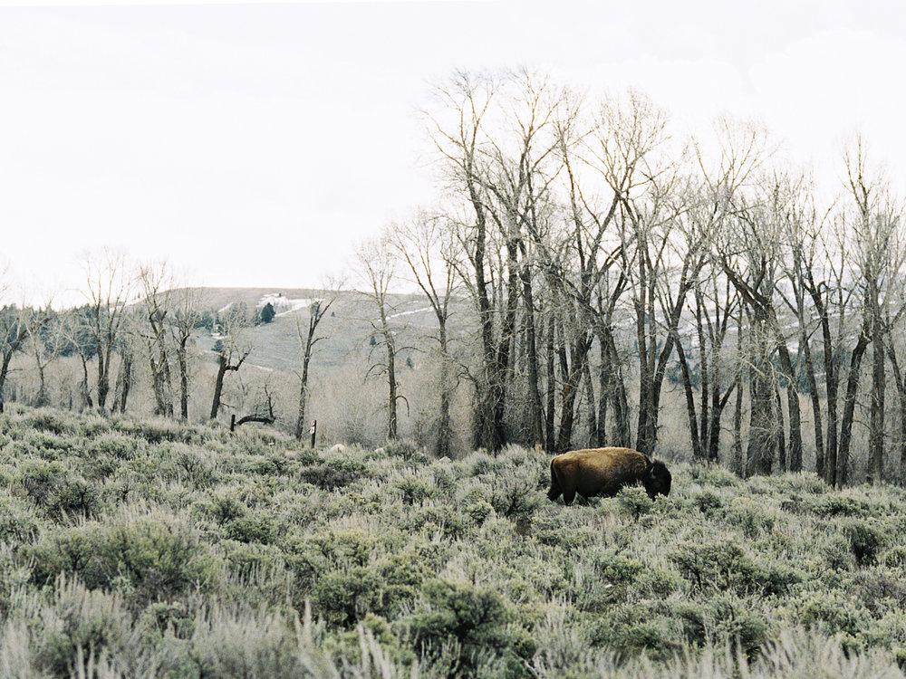 wyoming-buffaloes-film-photography.jpeg