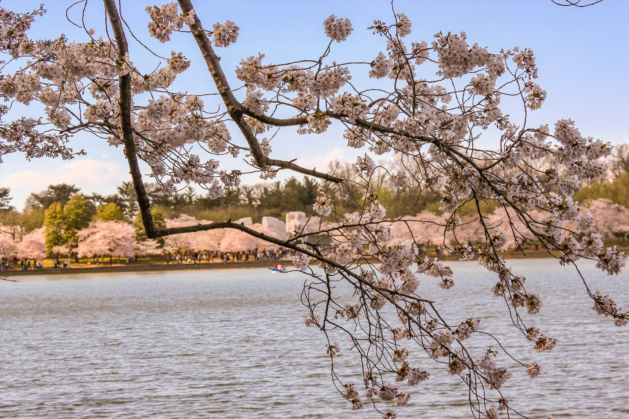 Cherry Blossoms in Washington, DC | Doctor Anni Blog | where to find cherry blossoms in washington dc, peak bloom, washington dc cherry blossoms