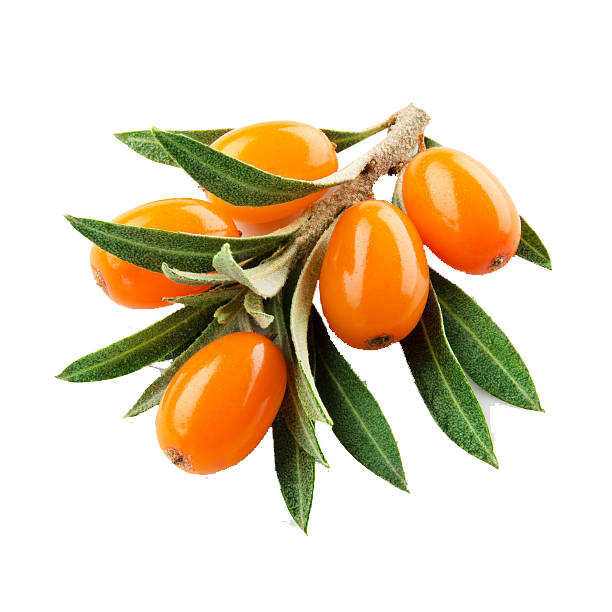 Sea Buckthorn (Hippophae rhamnoides), which is also known as It is also referred to as sandthorn, sallowthorn, or seaberry