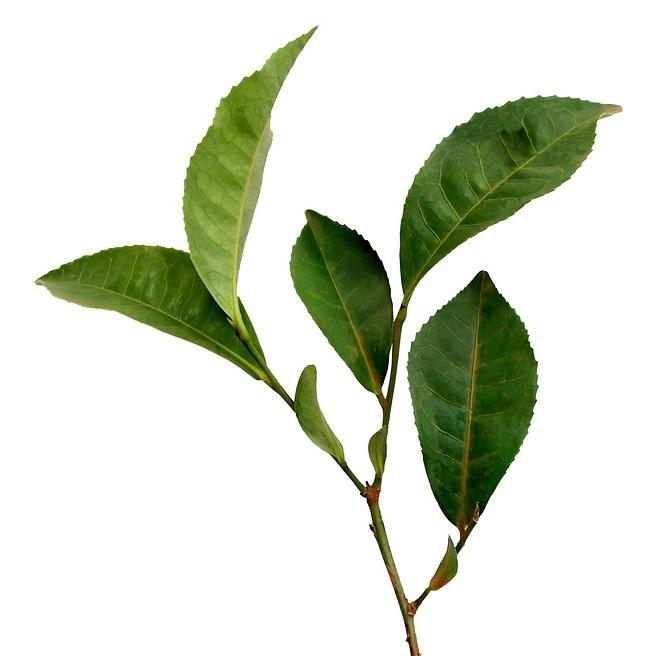 Green+Tea+Extract.jpg
