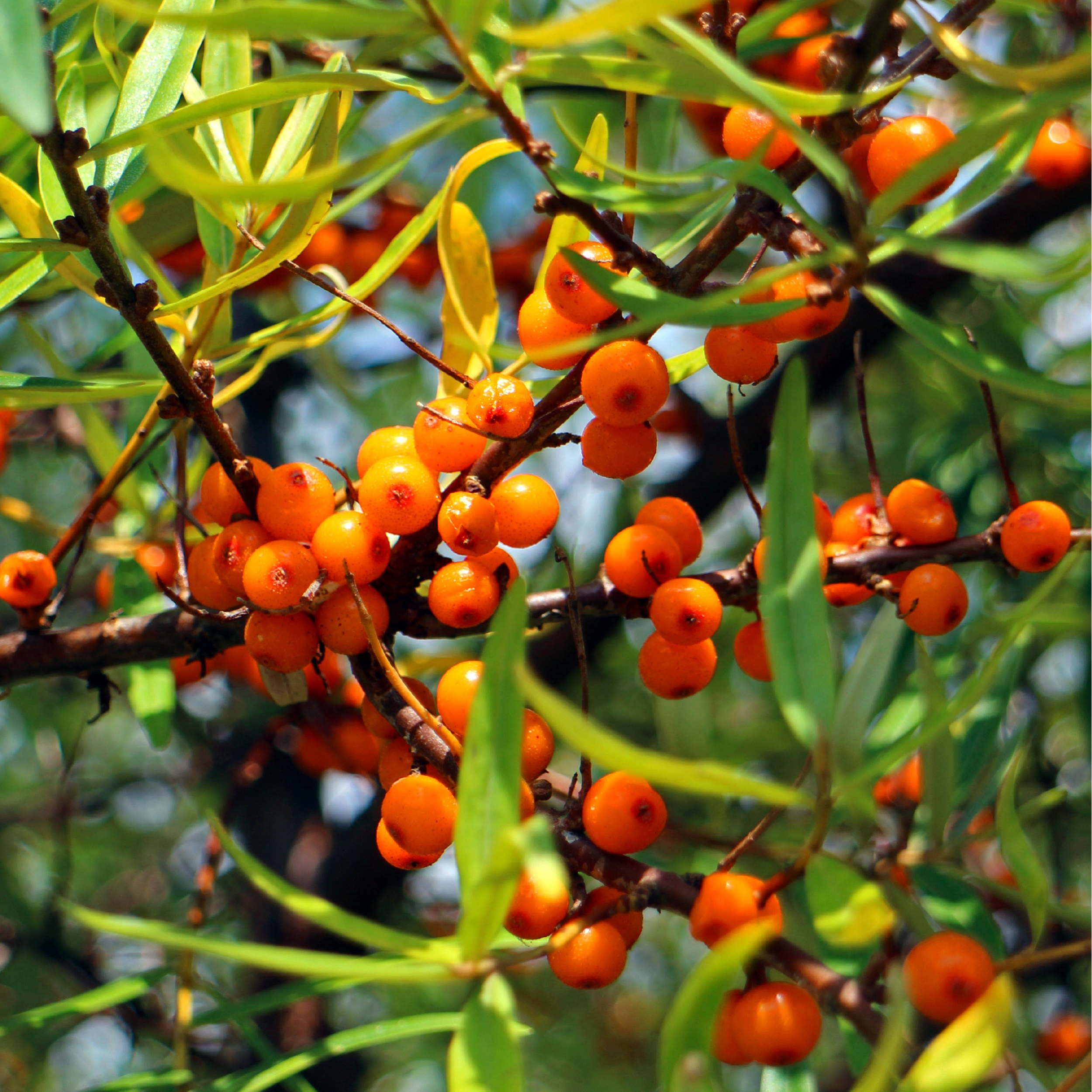 Sea Buckthorn - Miraculous Berry with more than 190 Bioactive Nutrients