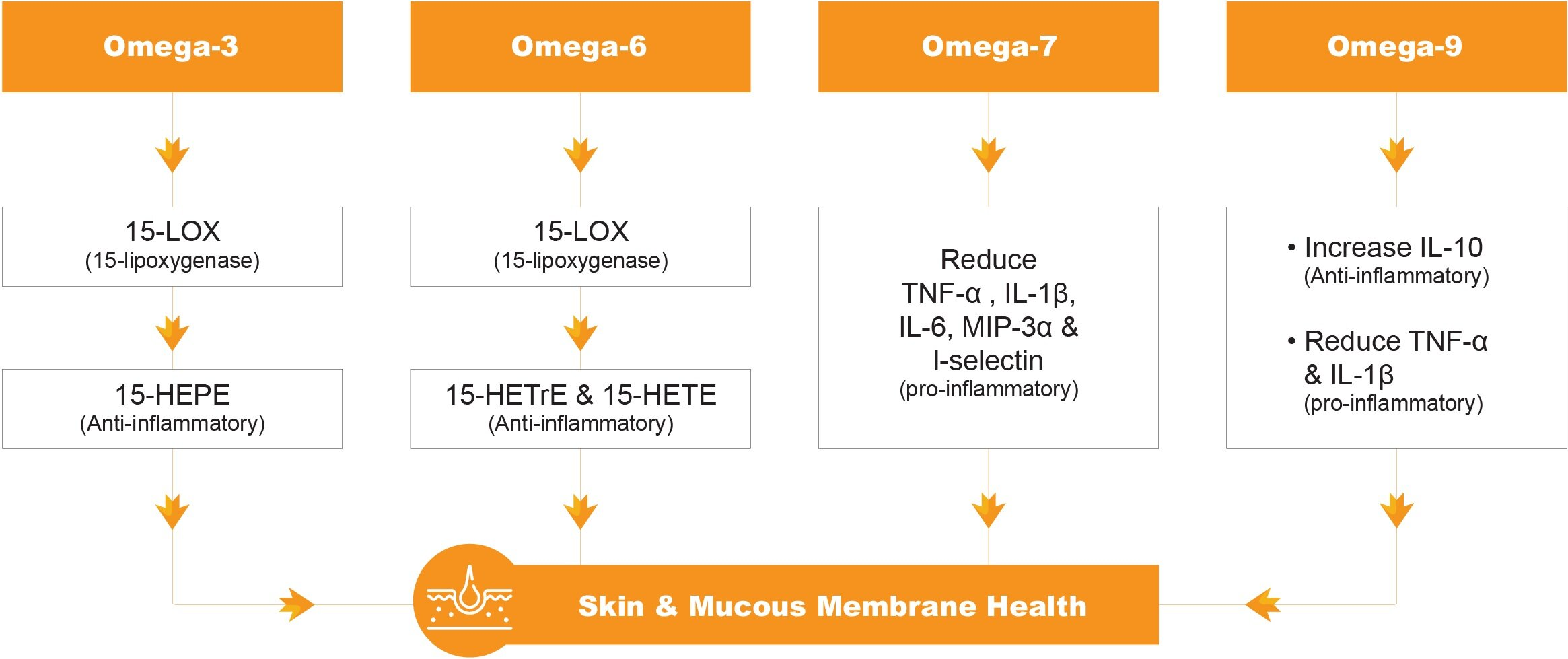 Omega® Organic Sea Buckthorn Omega Formula contributes to anti-inflammation by increasing anti-inflammatory cytokines (15-HEPE, 15-HETrE, 15-HETE, IL-10) and reducing proinflammatory cytokines (TNF-alpha, IL-1beta, IL-6, MIP-3alpha and I-selectin) production. Ultimately, they contribute to the regeneration of the mucous membrane.