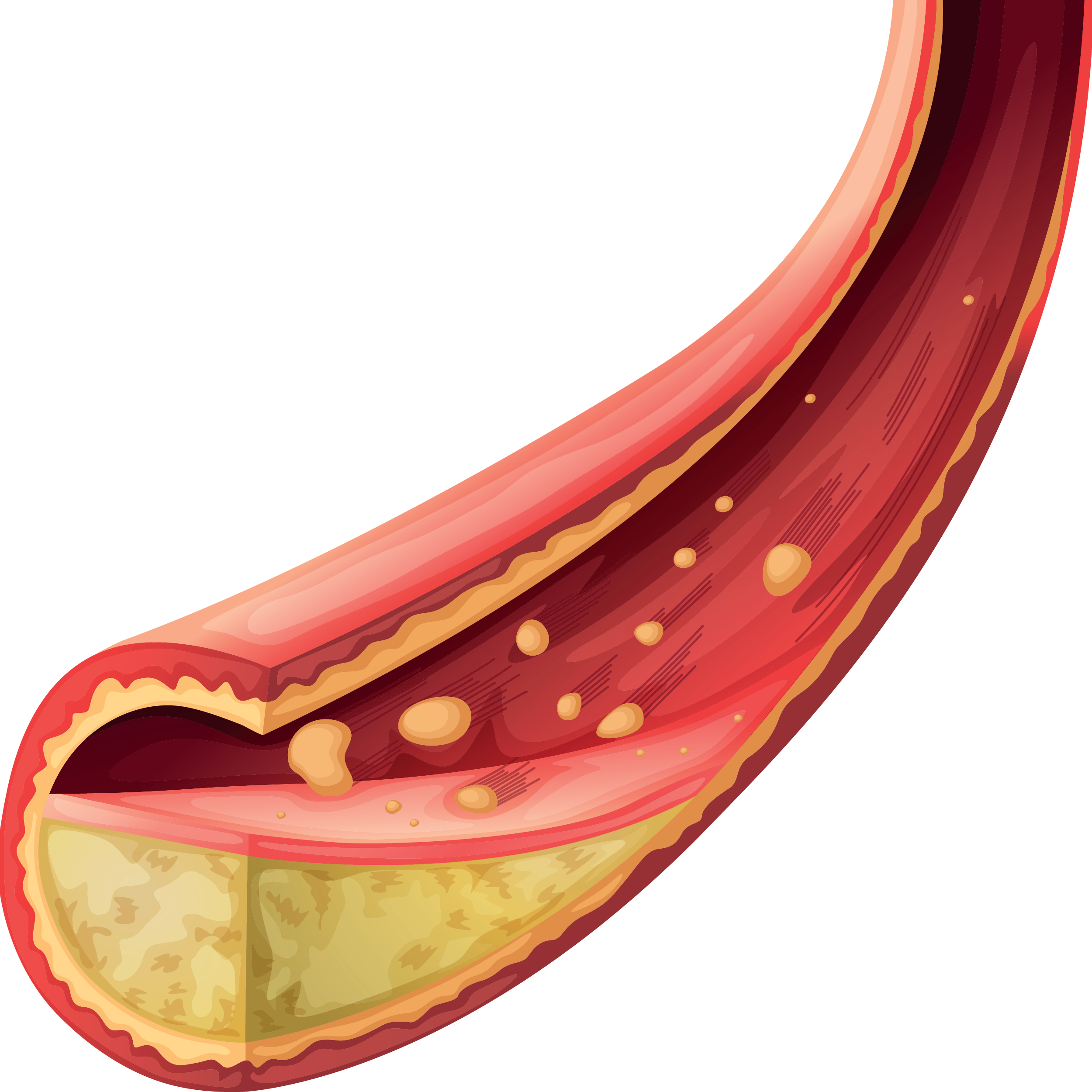 Cardiovascular Blood Vessel-01.png