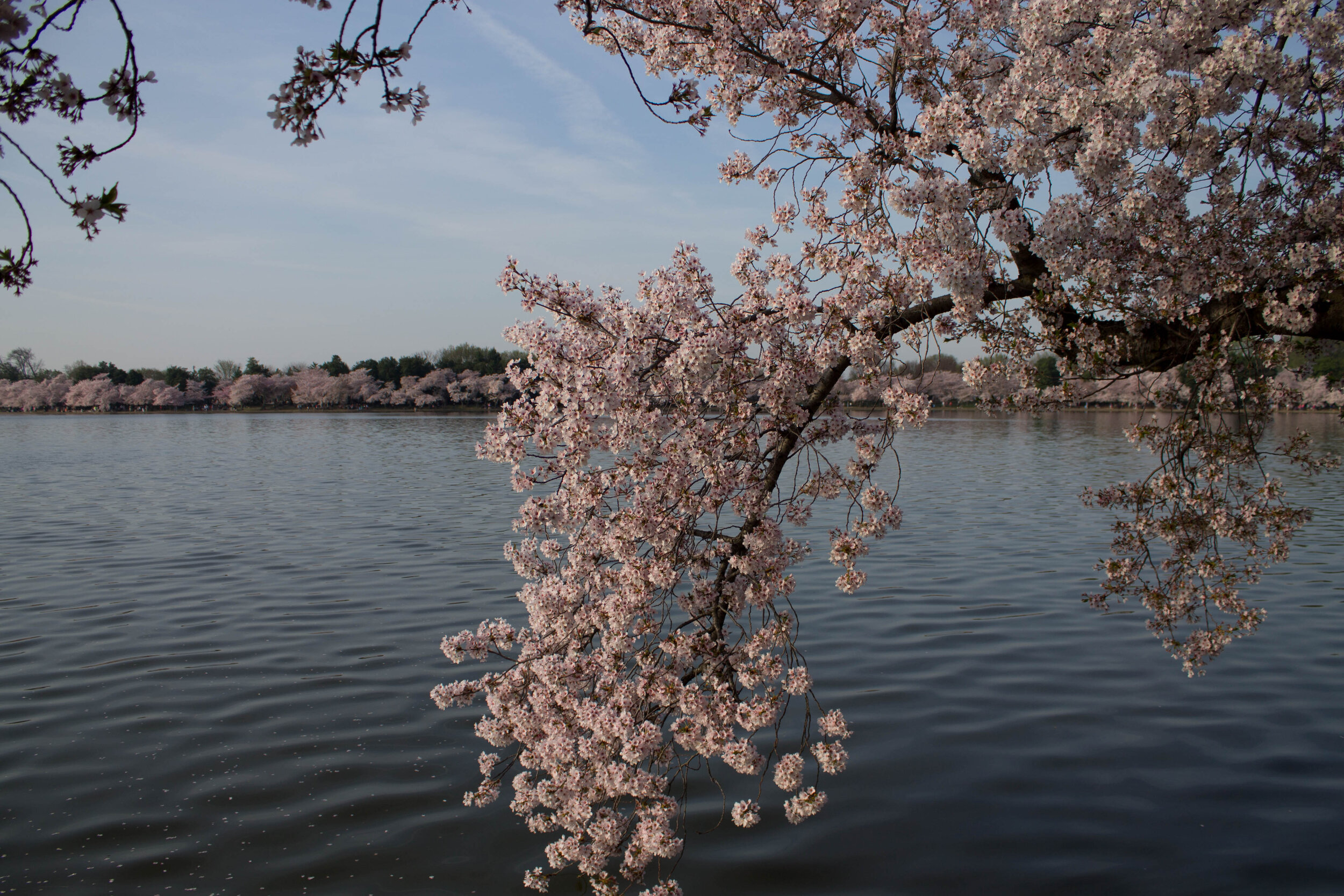 2014-04-13_Cherry_Blossons_and_Evening_Downtown-20140413-IMG_8620.jpg