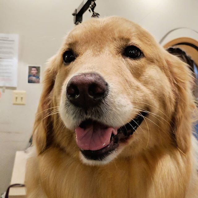 Harper is sunshine on a rainy day! ☔  #goldenretriever #goldensofinsta #instadog #woof #doggrooming #dogsofinstagram #doggo #viennava