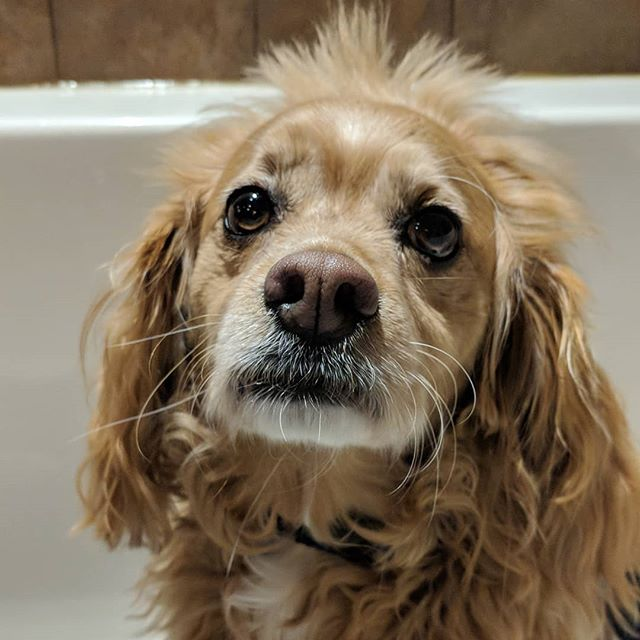 Daisy is ready for her post snow day bath!! 🌼🌼🌼 #cockapoo #cockapoosofinstagram #instadog #dogsofinstagram #snowpuppy #woof #dogbath