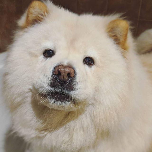 Caesar the supermodel 😍 #chowchowdog #floofer #dogsofinstagram #groomerlife