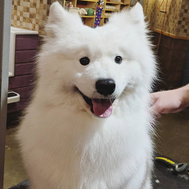 I'm cute and I know it - Boomer  #smilingsammy #samoyed #samoyedsofinstagram #doggrooming #viennava #dogsofinstagram #woof #instadog