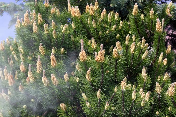 The Top 5 Benefits of Pine Pollen