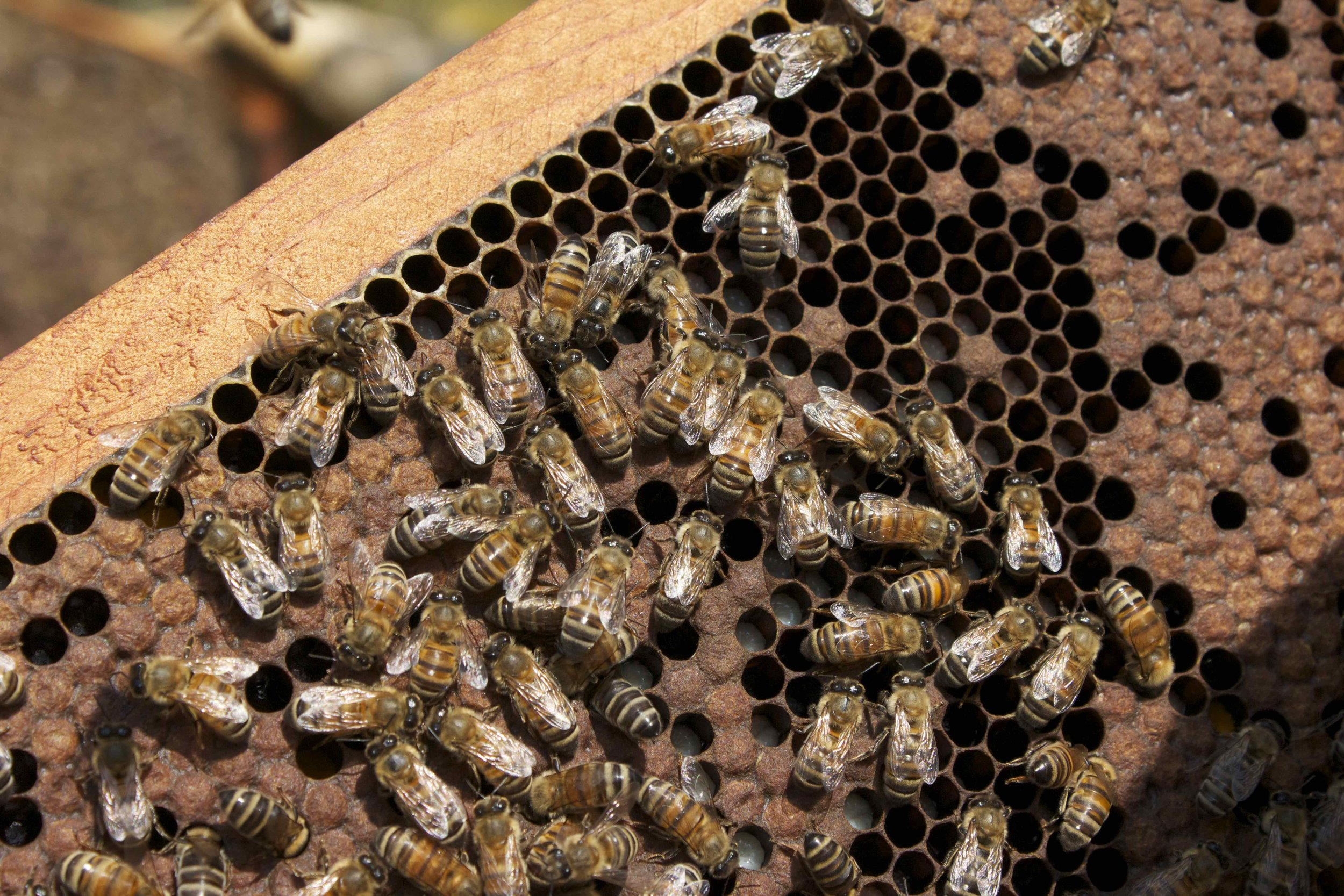 Capped and uncapped brood - you can see the white bee larvae in the uncapped cells. Aren't the adults beautiful?