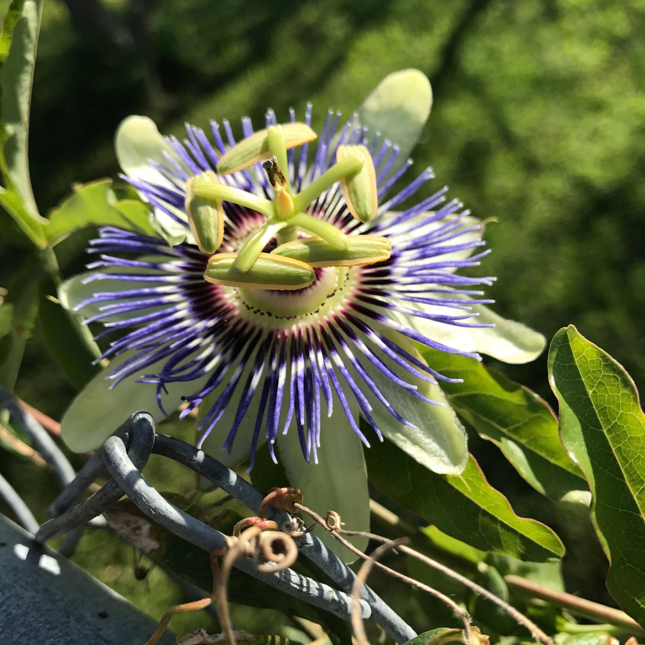 passion+vine+host+plant+Fritillary+butterfly.jpg