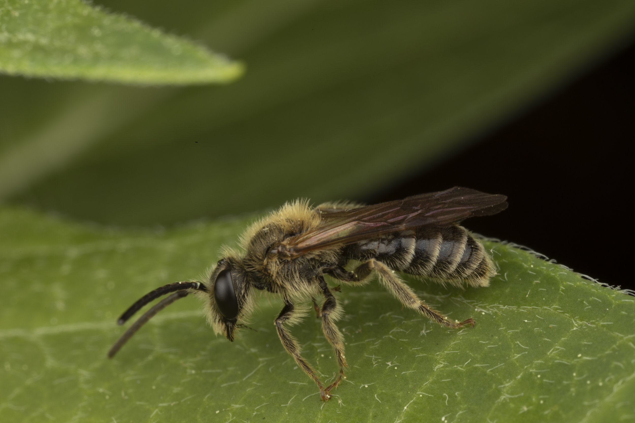 A Halictid bee, one of the many bee genera with species native to North America that we try to conserve. Photo credited to Joseph Ferraro for The Honeybee Conservancy.