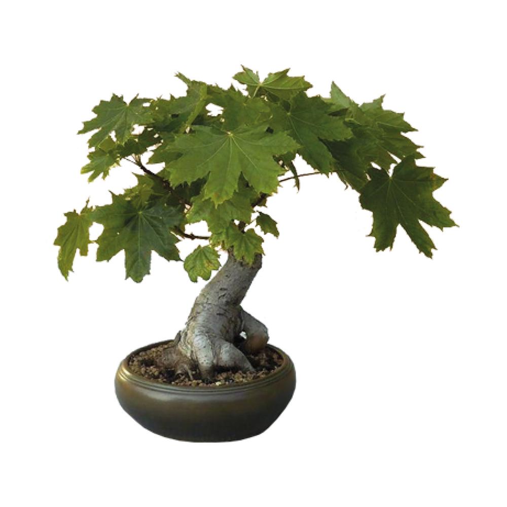 Grow Your Own Bonsai Kit Plant Theory