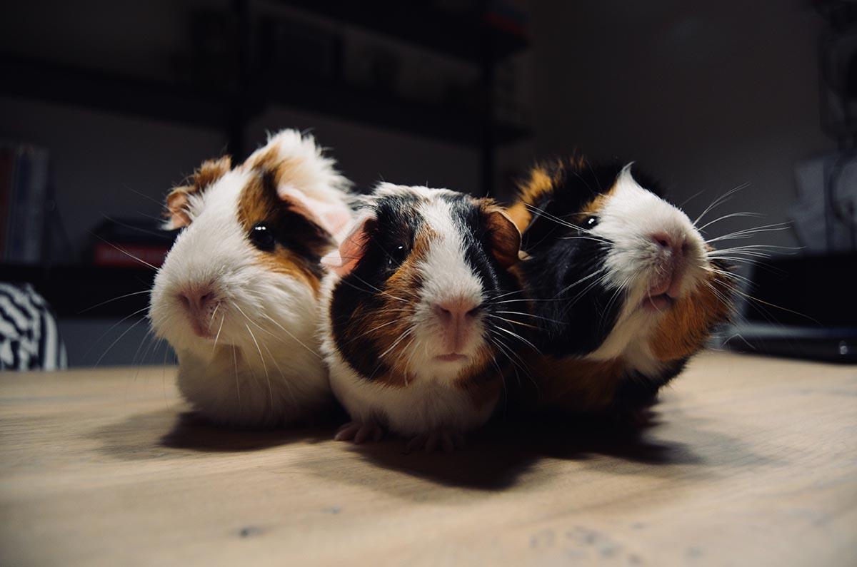 guinea-pigs-small.jpg