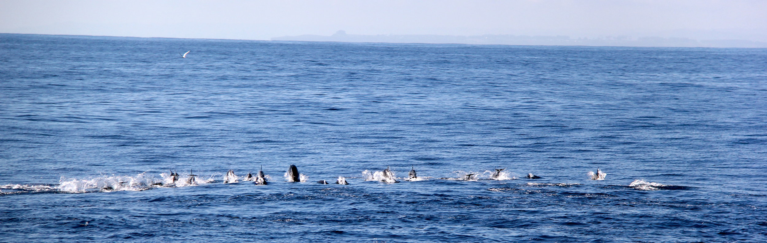 Pod of fast moving common dolphins