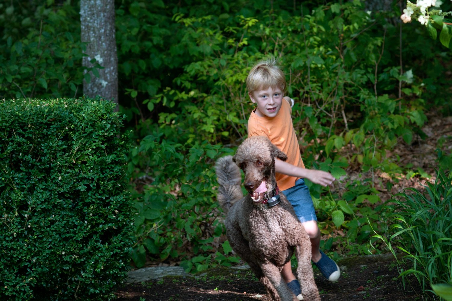 young boy chasing after a brown standard poodle