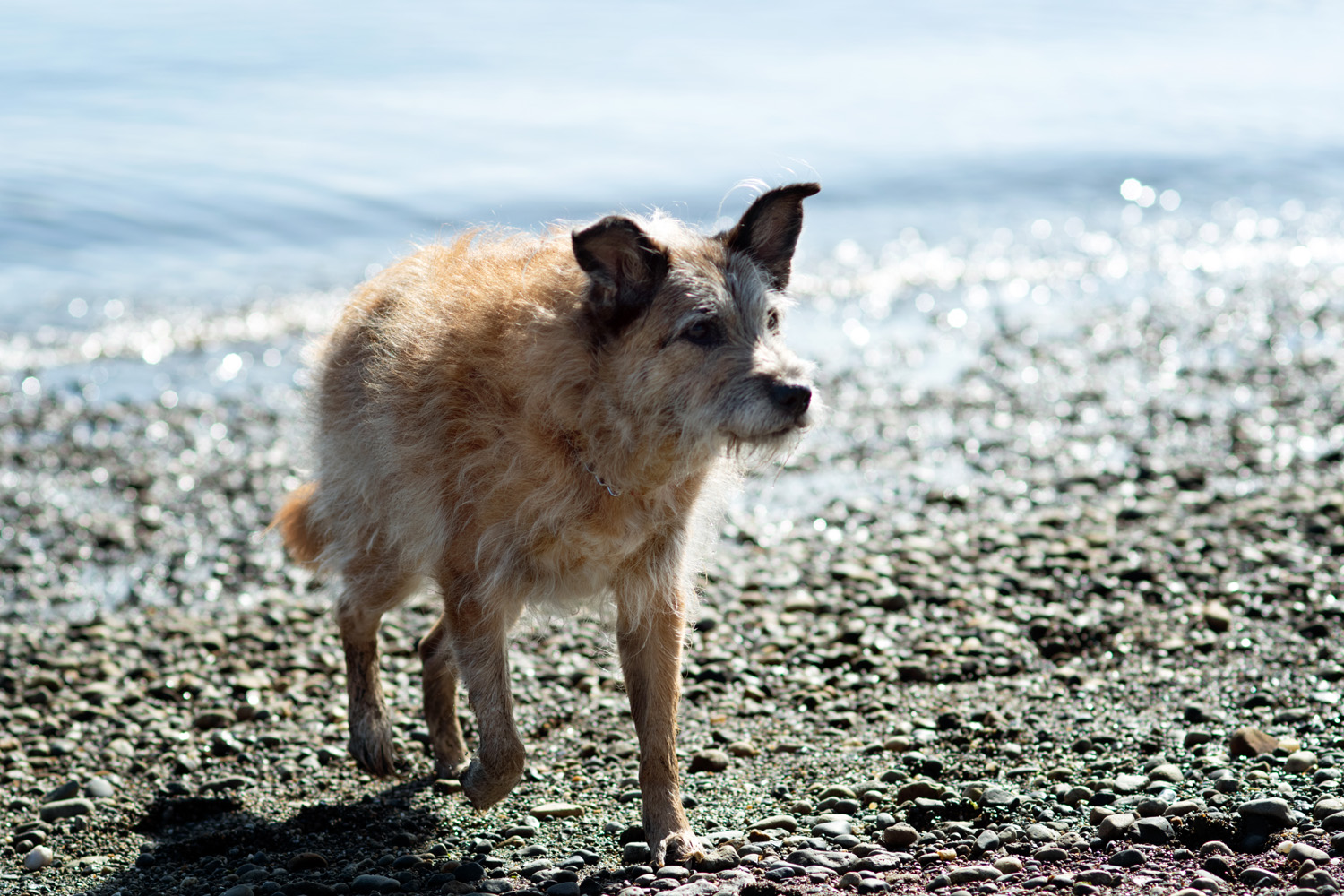 Elderly dog playing at the beach